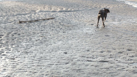 prehistoric man playing with a dog on the beach Footage