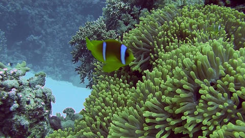2 banded Clownfish in anemone Stock Video Footage