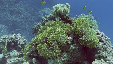 Anemone Clownfish, nemo Stock Video Footage