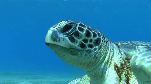 Big sea turtle going to the surface Stock Video Footage