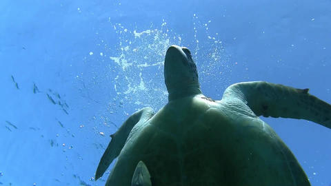 Big Sea Turtle Going To The Surface stock footage