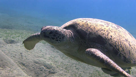 Big swimming turtle in Marsa Alam Stock Video Footage