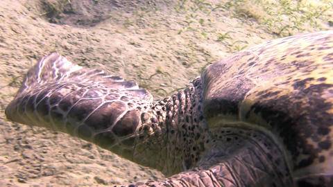 Big Swimming Turtle In Marsa Alam stock footage