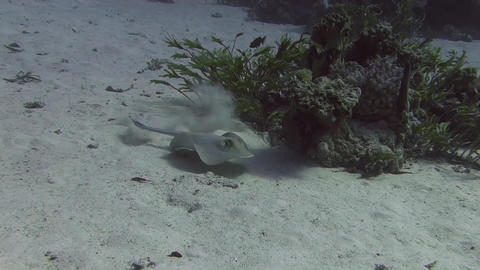 Blue spotted stingray Footage