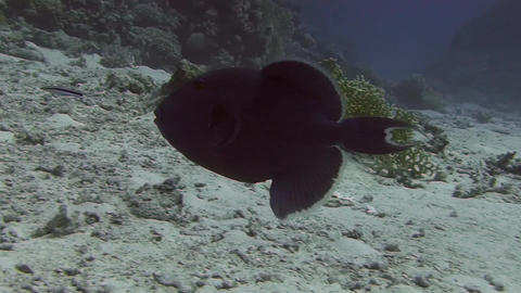 Blue Triggerfish Stock Video Footage