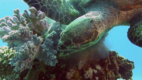 Turtle eating Coral Footage