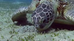 Eating sea turtle, close-up Footage