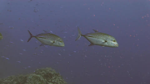 Giant Trevally fish Stock Video Footage