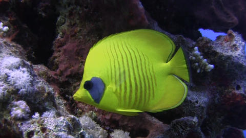 Masked Butterfly fish Stock Video Footage