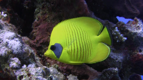 Masked Butterfly fish Footage