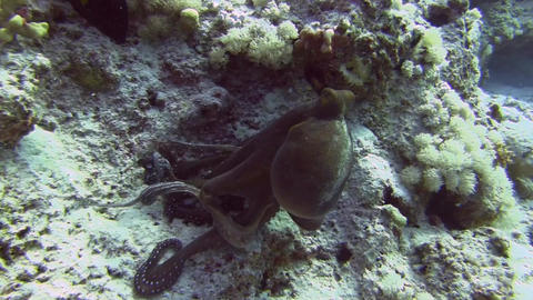 Octopus at coral Stock Video Footage