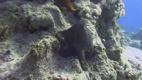 Octopus on coral Stock Video Footage