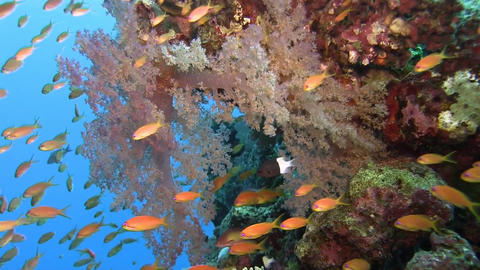 Reef soft coral with lots of orange fishes Stock Video Footage