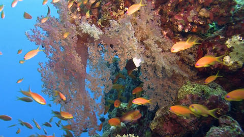 Reef soft coral with lots of orange fishes Footage