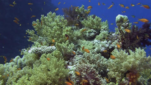 Soft coral and lots of orange fishes Stock Video Footage