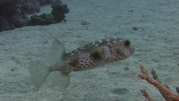 Swimmig Pufferfish Stock Video Footage