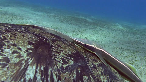 Turtle Egypt Red Sea 5 Stock Video Footage
