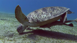 Turtle swimming in sea Stock Video Footage