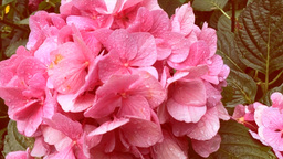 Super Slow Motion Pink Flowers Close Up Footage