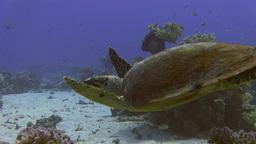 Big Sea Turtle Swimming stock footage