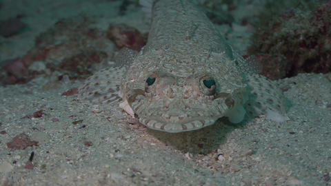 Juvenile Crocodile fish Arabian Sea Oman (2) Live Action