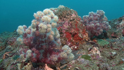 Soft Coral ( Movin Shot ) Arabian Sea Oman stock footage