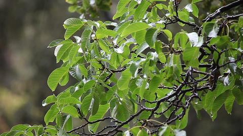 walnut tree in the rain ライブ動画