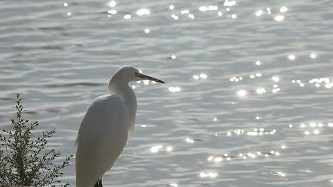 egret by the lake ライブ動画