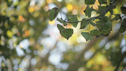 quaking aspen leaves in early autumn Footage
