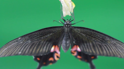 Butterfly Emerging From Pupa stock footage