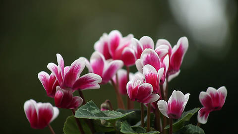 magenta and white cyclamen flowers Footage