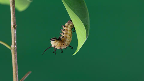 Time Lapse Of Butterfly Emerging 2