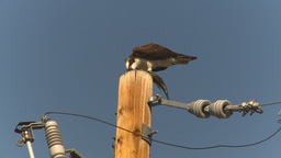HD2009-8-1-4 Osprey eating fish on pole Footage