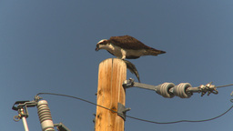 HD2009-8-1-4 Osprey eating fish on pole Stock Video Footage
