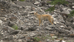 HD2009-8-4-4 coyote onrocks Stock Video Footage