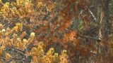 HD2009-8-8-21 Mountain Pine Beetle Trees X4 stock footage