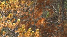 HD2009-8-8-21 Mountain Pine Beetle Trees X4 stock footage