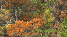 HD2009-8-8-21 mountain pine beetle trees x4 Stock Video Footage