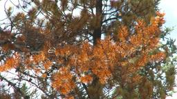 HD2009-8-8-21 mountain pine beetle trees x4 Stock Video Footage
