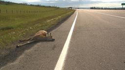 HD2009-8-13-2 road kill deer Stock Video Footage