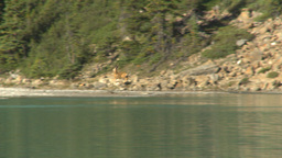HD2009-8-14-4 deer bounding on lake shore Footage