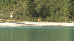 HD2009-8-14-4 deer bounding on lake shore Stock Video Footage