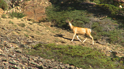 HD2009-8-14-6 deer on rocky slope Footage