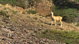 HD2009-8-14-6 deer on rocky slope Stock Video Footage