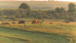 HD2009-8-20-22 cattle sunrise Footage