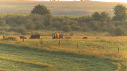 HD2009-8-20-22 cattle sunrise Stock Video Footage