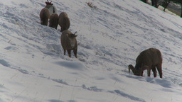 HD2009-1-1-51 Banff snow mountain sheep Stock Video Footage