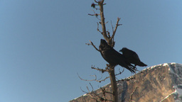 HD2009-1-7-5 ravens in tree Stock Video Footage