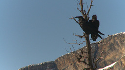 HD2009-1-7-7 ravens in tree, one flies off Stock Video Footage