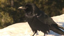 HD2009-1-7-9 raven on snow Stock Video Footage